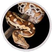 Blood Python Python Brongersmai Round Beach Towel