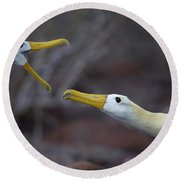 A Wave Albatross Couple In A Courtship Round Beach Towel