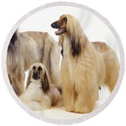 Afghan Hounds Round Beach Towel