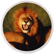 African Lion, Masai Mara, Kenya Round Beach Towel