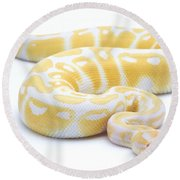 Albino Royal Python Round Beach Towel