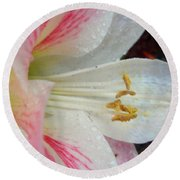 Amaryllis Kissed With Dew Round Beach Towel