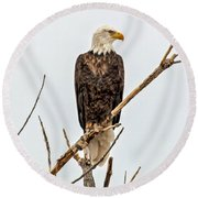 Bald Eagle On A Branch Round Beach Towel