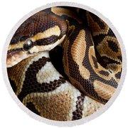 Ball Python Python Regius Round Beach Towel by David Kenny