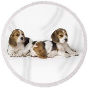 Beagle Puppies, Row Of Three, Second Round Beach Towel