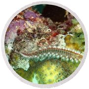 Round Beach Towel featuring the photograph Bearded Fireworm On Rainbow Coral by Amy McDaniel