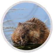 Beaver Portrait Round Beach Towel by Dan Sproul