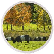 Belted Galloway Cows Grazing On Grass In Rockport Farm Fall Maine Photograph Round Beach Towel by Keith Webber Jr