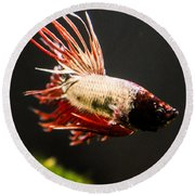 Betta Fish 3 Round Beach Towel by Lisa Brandel