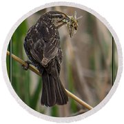 Round Beach Towel featuring the photograph Big Dinner For Female Red Winged Blackbird II by Patti Deters