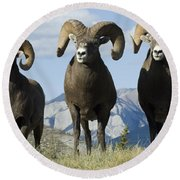 Big Horn Sheep Round Beach Towel by Bob Christopher