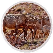 Round Beach Towel featuring the photograph Bighorn Canyon Sheep Trio by Janice Rae Pariza