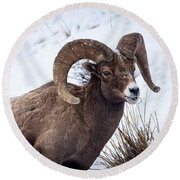 Round Beach Towel featuring the photograph Bighorn Ram by Michael Chatt