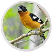 Blach-headed Grosbeak Round Beach Towel