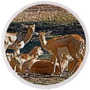 Blackbuck Female And Fawns Round Beach Towel