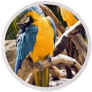 Blue And Yellow Macaw Pair Round Beach Towel