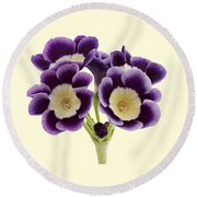 Blue Auricula On A Cream Background Round Beach Towel by Paul Gulliver
