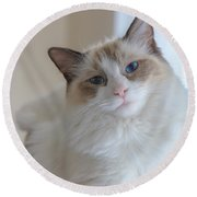 Blue-eyed Ragdoll Kitten Round Beach Towel