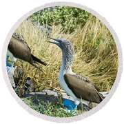 Blue-footed Boobies Round Beach Towel by William H. Mullins
