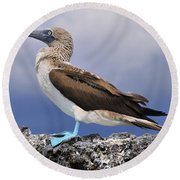 Blue-footed Booby Round Beach Towel by Tony Beck