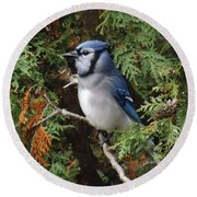 Round Beach Towel featuring the photograph Blue Jay In Cedar Tree 2 by Brenda Brown