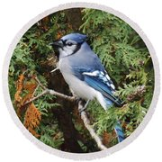 Round Beach Towel featuring the photograph Blue Jay In Cedar Tree by Brenda Brown