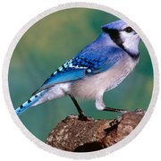 Blue Jay Round Beach Towel by Millard H. Sharp