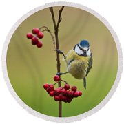 Blue Tit With Hawthorn Berries Round Beach Towel by Liz Leyden