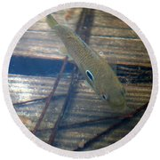 Bluegill On The Hunt Round Beach Towel