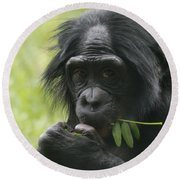 Bonobo Eating Round Beach Towel by Dan Sproul