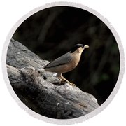 Brahminy Starling Round Beach Towel