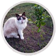 Round Beach Towel featuring the photograph Cat 'n Orange Tree by Joseph Baril