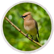 Cedar Waxwing Gathering Nesting Material Round Beach Towel by Jeff Goulden
