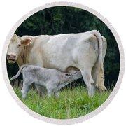 Charolais Cattle Nursing Young Round Beach Towel