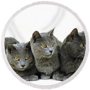 Chartreux Domestic Cat Round Beach Towel