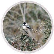 Round Beach Towel featuring the photograph Chickadee In Cedar by Brenda Brown