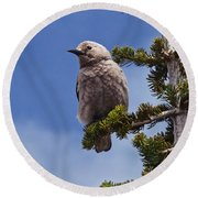 Clark's Nutcracker In A Fir Tree Round Beach Towel