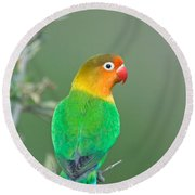 Close-up Of A Fischers Lovebird Round Beach Towel by Panoramic Images