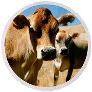Close Up Of Cows, California, Usa Round Beach Towel