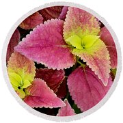 Coleus Colorfulius Round Beach Towel