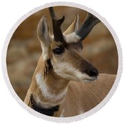 Collared Pronghorn Buck Head Shot Round Beach Towel