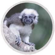 Round Beach Towel featuring the photograph Cotton Top Tamarin  by Shoal Hollingsworth
