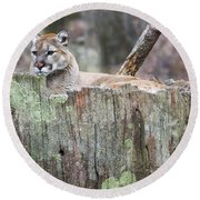 Cougar On A Stump Round Beach Towel by Chris Flees