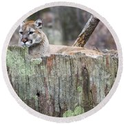 Cougar On A Stump Round Beach Towel