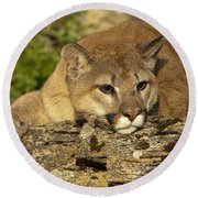 Cougar On Lichen Rock Round Beach Towel