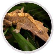 Crested Gecko Rhacodactylus Ciliatus Round Beach Towel