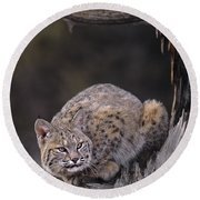 Round Beach Towel featuring the photograph Crouching Bobcat Montana Wildlife by Dave Welling