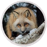 Curious Fox Round Beach Towel by Richard Bryce and Family