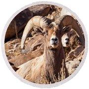 Desert Bighorn Sheep Round Beach Towel by Nadja Rider