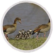 Egyptian Geese And Their Fuzzy Dominos Round Beach Towel